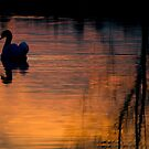 Mute Swan Silhouette, Emberton, UK by strangelight