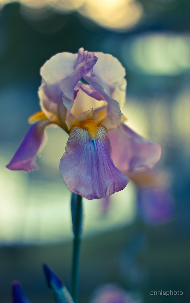Iris at Sunset by A Barnes