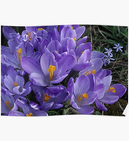 Crocus in Bloom Poster