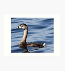 Pied -billed Grebe Art Print