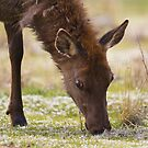Young cow elk by amontanaview