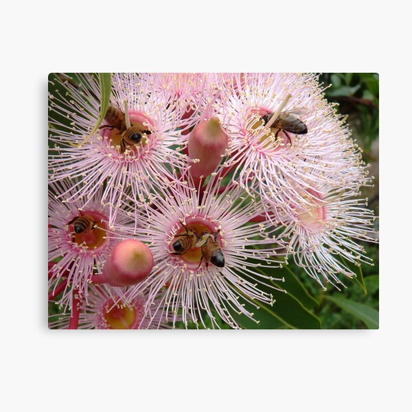 The pink gum is blooming - and the bees are busy! Canvas Print