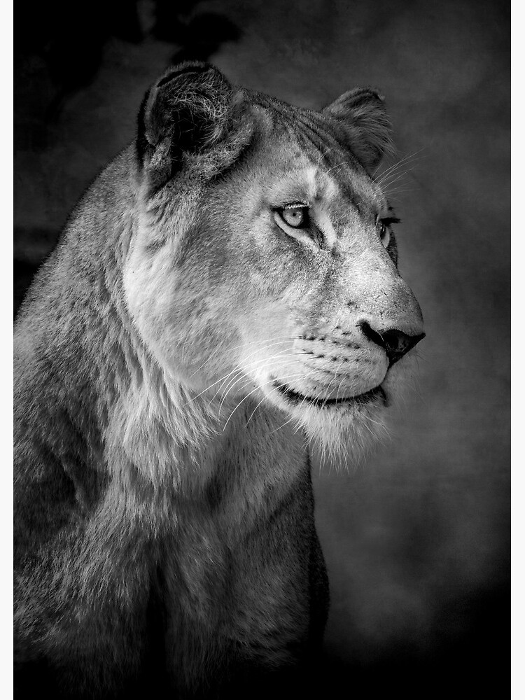 Lioness by Durberville