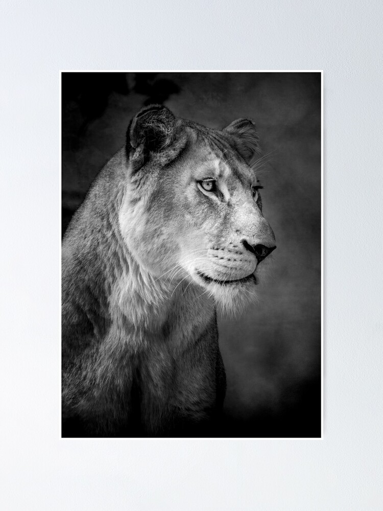 Alternate view of Lioness Poster