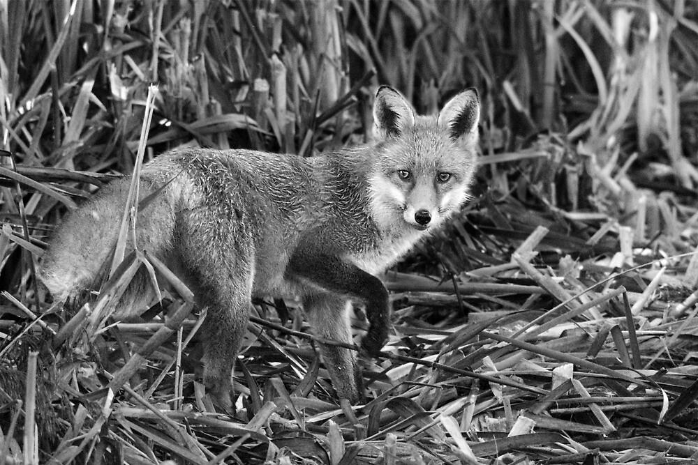 Fox Hunting A Reedbed by Nigel Tinlin