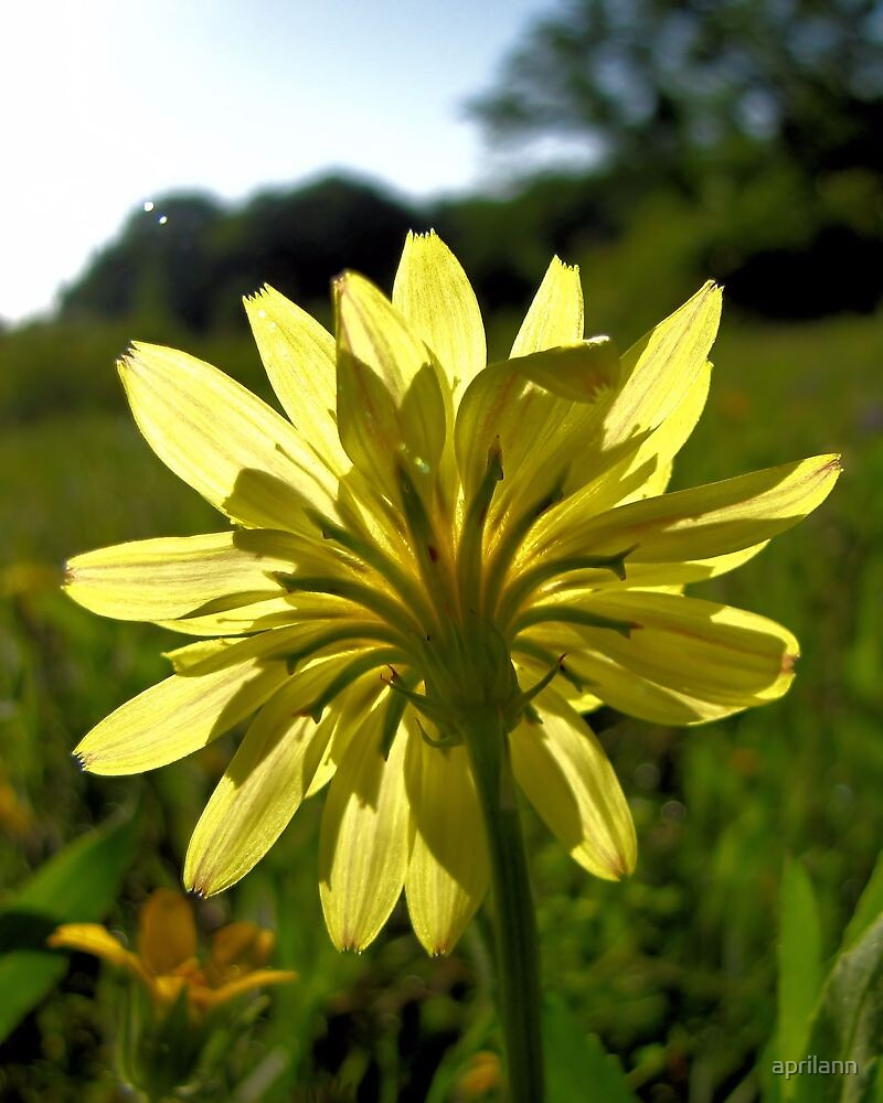 Catching the Sunshine - Texas Dandelion by aprilann