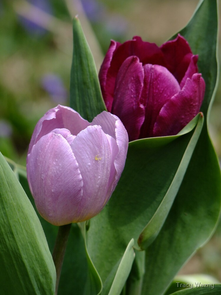Pink and Fushia Tulips by Tracy Wazny