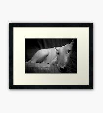 white english bull terrier Framed Print