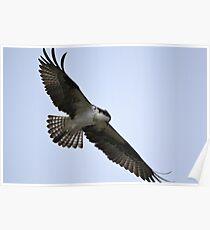 Osprey hunting Poster