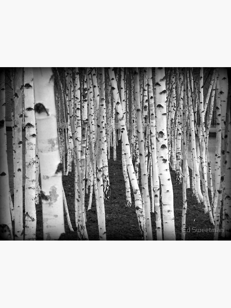 Silver Birch Trees by ThinGlass