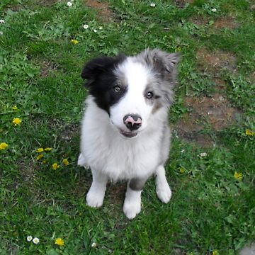 Border Collie Puppy by dreamorlive