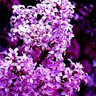Lovin Lilacs by Christine Ford