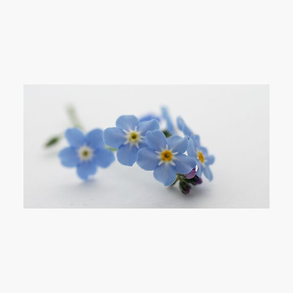 forget me not Fotodruck