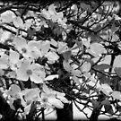 Dogwood Spring by Mechelep