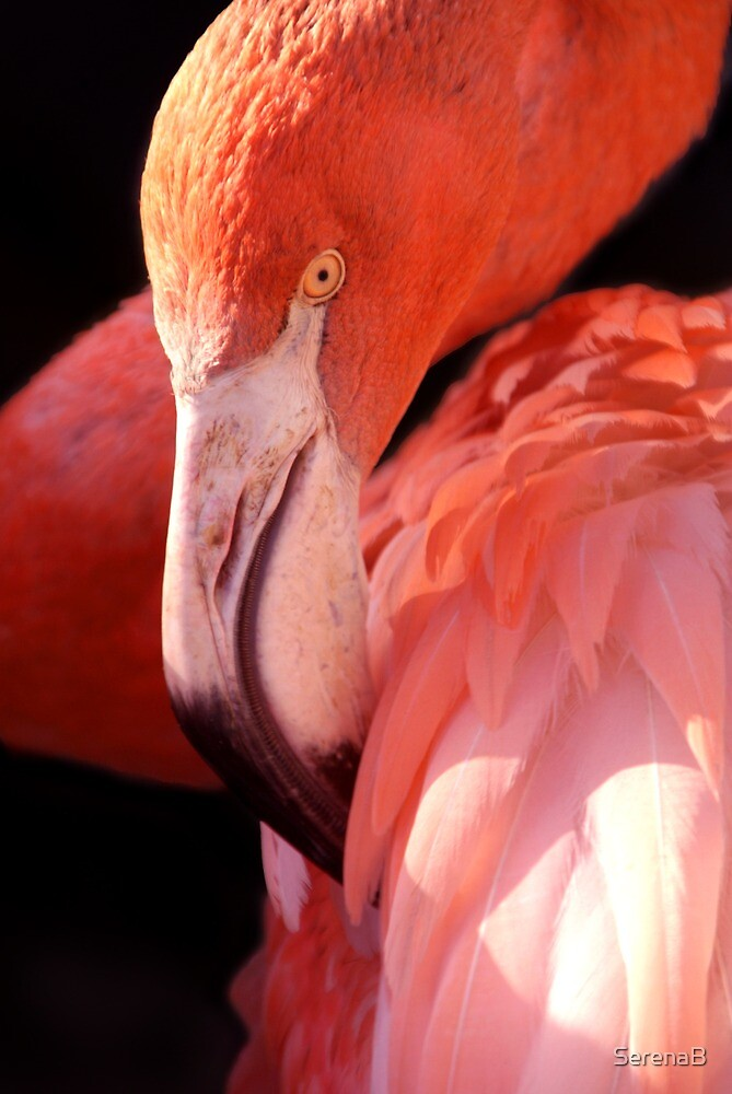 Cuban Flamingo  by SerenaB
