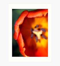 Dazzling Orange Tulip Art Print