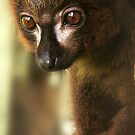 Portrait of a Red-bellied lemur by Shienna