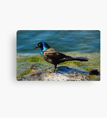 Grackle  Canvas Print