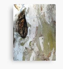 Sycamore wound Canvas Print