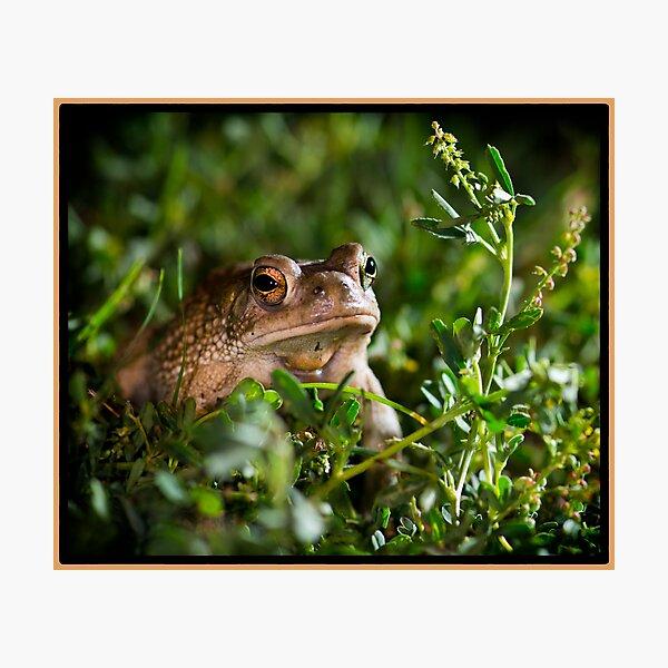 Texas Toad exploring at night Photographic Print