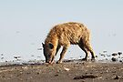 Spotted Hyena Just Finishing Off Its Meal by Carole-Anne