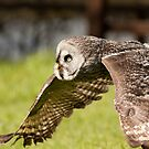 Wide Face Owl in flight by Matt Hurrell