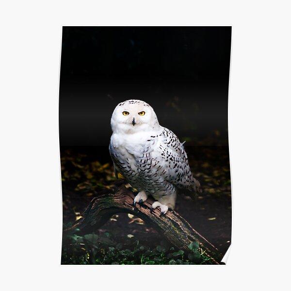 Majestic winter snowy owl Poster