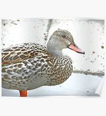 Female Dabbling Duck Poster