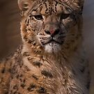 Snow Leopard Portrait v2 by JMChown