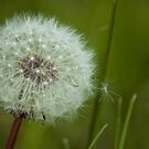 Dandelion by Anete Bauere