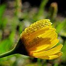 Balancing Act - Slender Stem Bitterweed - Texas Wildflower by aprilann