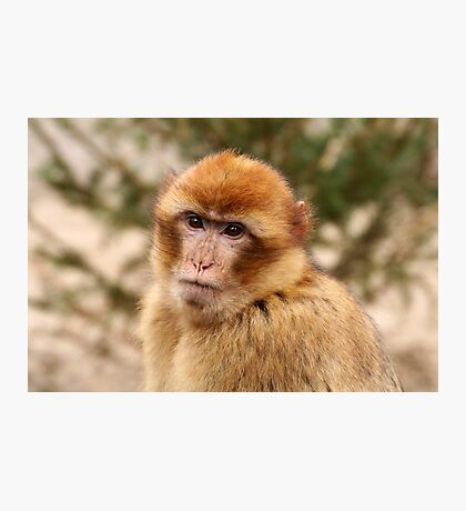 Portrait of A Barbary Macaque Photographic Print