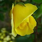Yellow Rose by dge357