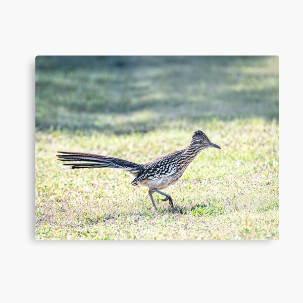 Greater Roadrunner Ready to Pounce Metal Print