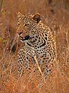 Evening Leopard, Kruger National Park by Explorations Africa Dan MacKenzie