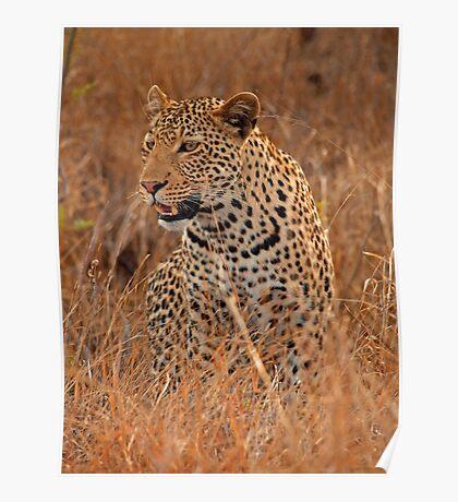 Evening Leopard, Kruger National Park Poster