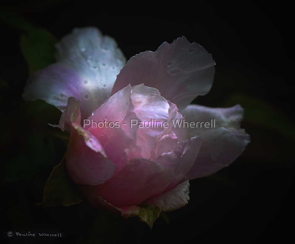 Peony in the rain by Photos - Pauline Wherrell