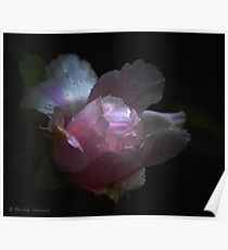 Peony in the rain Poster