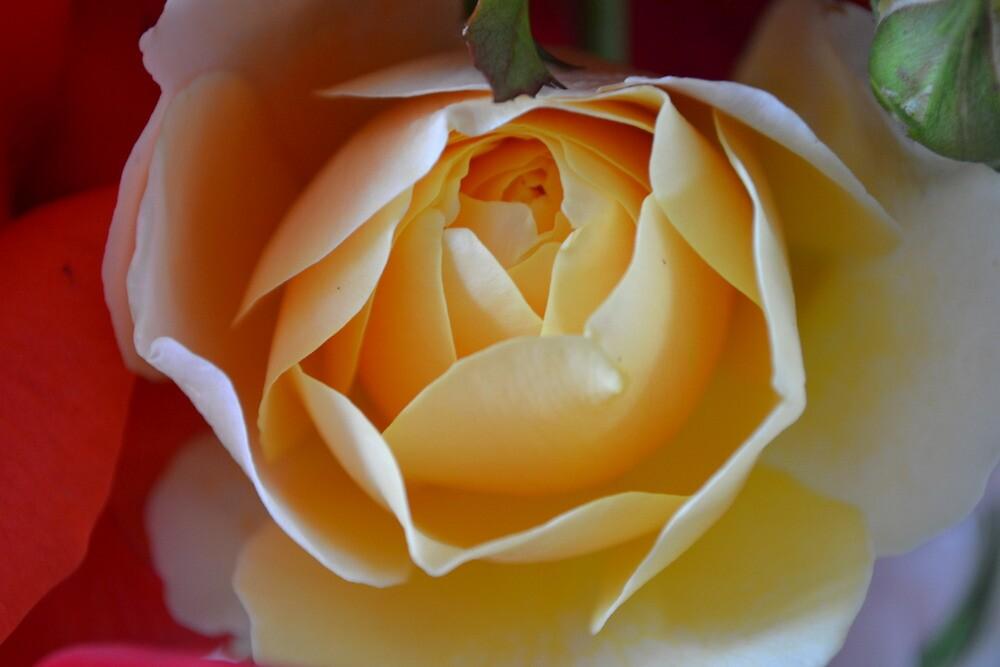 Yellow Rose by TheaShutterbug