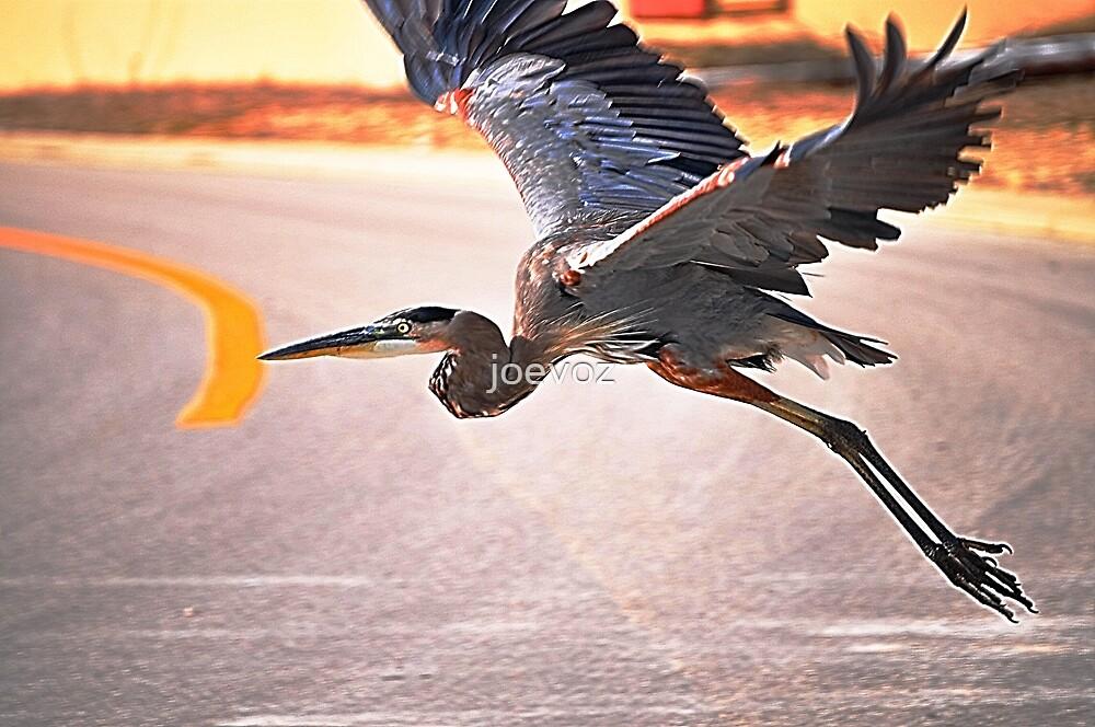 Blue Heron Takes Flight by joevoz