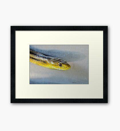 Yellow Rat Snake (Profile) Framed Print