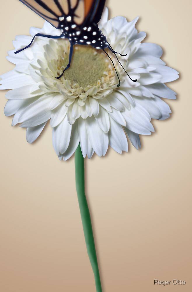 Monarch on a White Daisy by Roger Otto