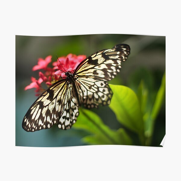 Lace Wing Poster