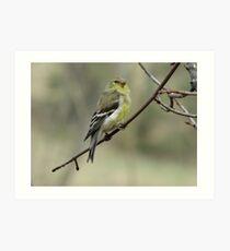 Female American Goldfinch Art Print