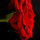 The Rose by Steve Purnell