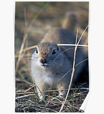 Richardson Ground Squrrel Poster