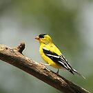 Male Goldfinch by Gregg Williams