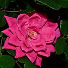 A Lone, Pink Rose by Sean Paulson