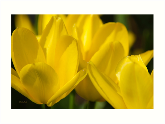 Yellow Tulips by Christina Rollo