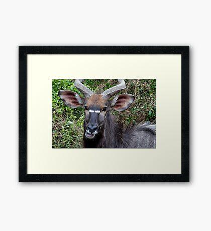 Nyala Male Close Up Framed Print